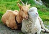 Товары для овцеводства и козоводства