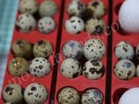 лотки на перепелинные яйца