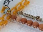 инкубация куриных и перепелиных яиц