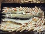 рыба для копчения